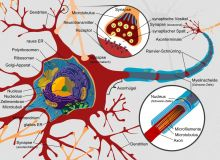 Complete neuron cell diagram. Photo LadyofHats in Wikipedia/Nervensystem (German version)