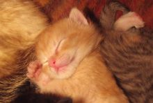 Sleeping, male baby cat. Picture by Watchduck, Wikipedia, public domain.