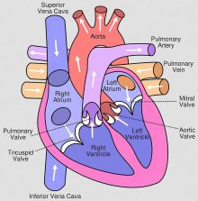 Schematic depiction of the human heart. Wikipedia/Jakov/Yaddah/CC.