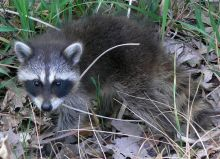 Foto junger Waschbär (Common Raccoon) von Dmytro S. in Indiana, USA. Public domain.